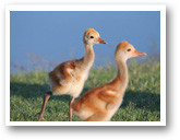 Ibis Country Club Baby Sandhill Crane