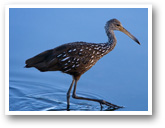 Ibis West Palm Limpkin