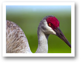 Ibis Homes for Sale Sandhill Crane