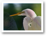 Ibis West Palm Homes for Sale Great Egret
